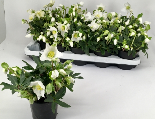 Helleborus Little Darling 10,5 cm