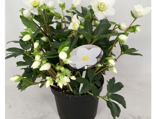 Helleborus 'Valentine darling' 17 cm