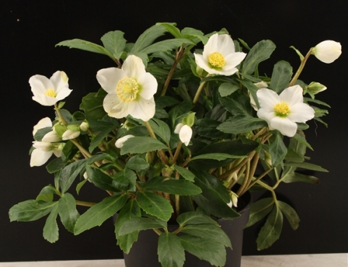 Helleborus Christmas darling