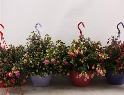 Fuchsia in diverse kleuren hangpot (17)
