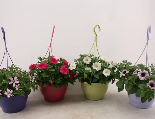 Petunia enkelbloemig in diverse kleuren hangpot (18)